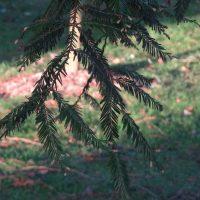 sequoia sempervirens_feuillage
